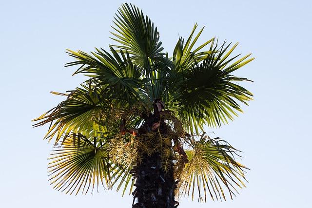 Palm, Arecaceae, Fan Palm, Plant, Flora, Botany, Sky