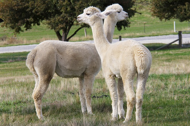 Adorable, Alpacas, Lavender, Farm, Beautiful