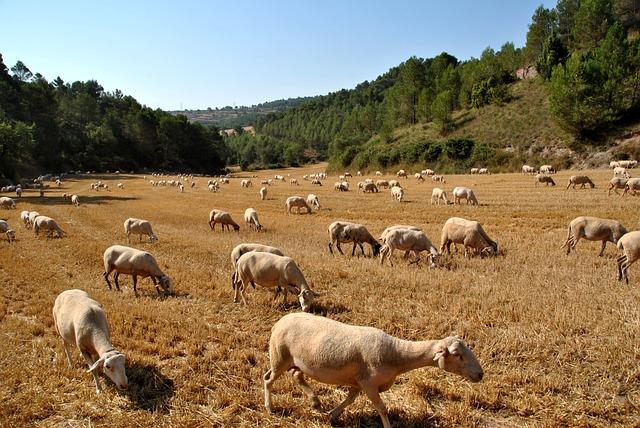 Sheep, Goat, Nature, Flock, Farm, Animal, Farm Animal