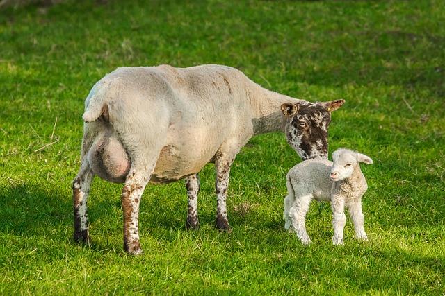 Sheep, Chick, Farm, Nature
