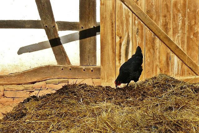 Chickens, Farm, Dung, Agriculture, Poultry