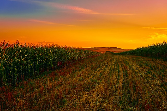 Corn, Field, Cornfield, Agriculture, Farm, Sunset, Dusk