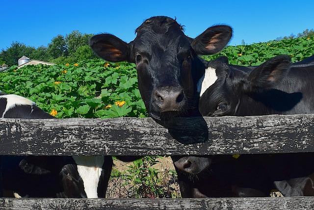 Cows, Fence, Farm, Holstein, Rural, Animal, Agriculture