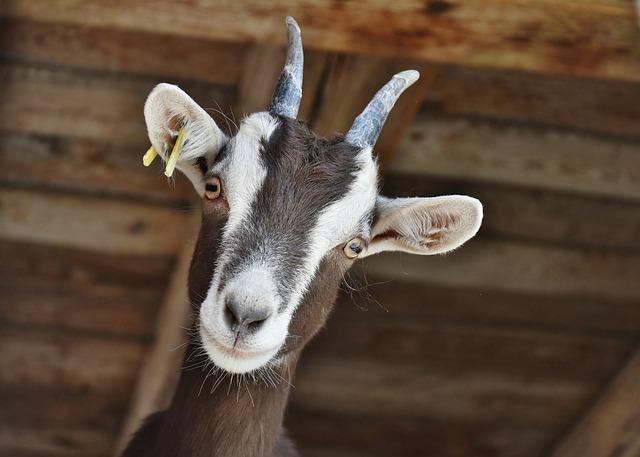 Goat, Livestock, Farm, Horns, Domestic Goat, Horned