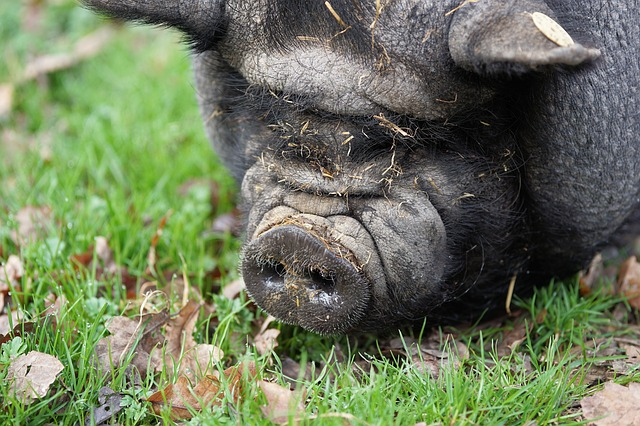 Pig, Pot Bellied Pig, Farm, Domestic Pig, Sow, Thick