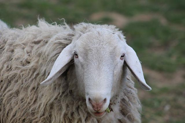 Sheep, Nature, Slovenia, Farm, Eating