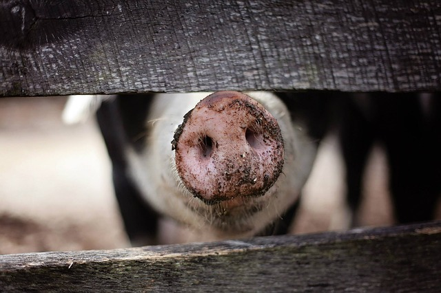 Animal, Farm, Farm Animal, Farmer, Fence, Hog, Mud, Pig