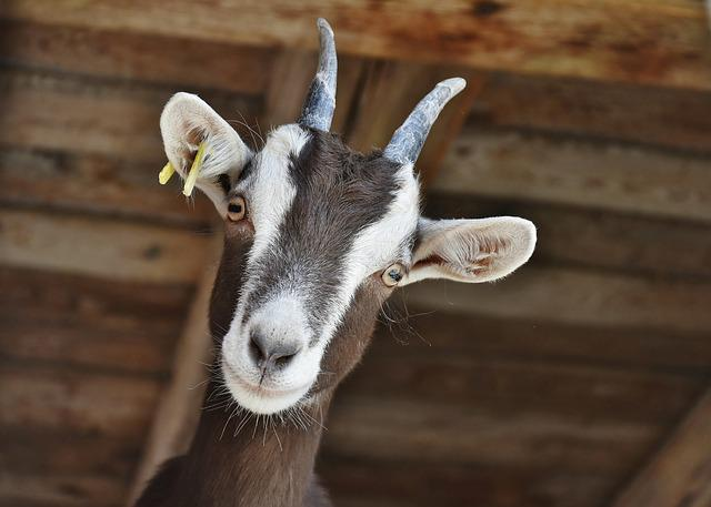 Goat, Livestock, Farm, Horns, Domestic Goat, Horned