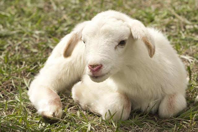 Lamb, Farm, Sheep, Livestock