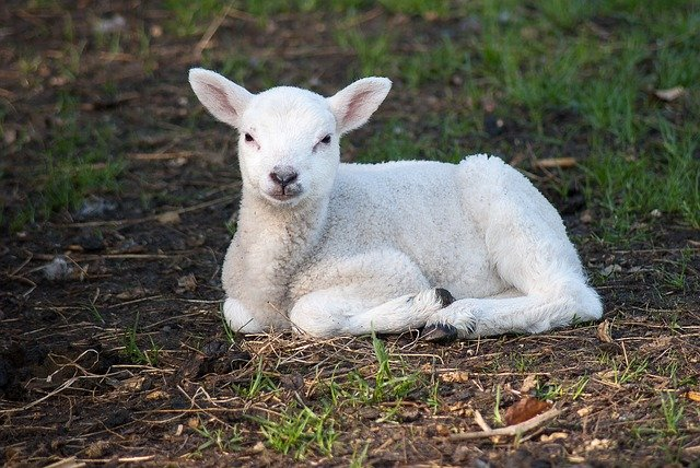 Lamb, Sheep, Cute, Animal Kingdom, Nature, Farm