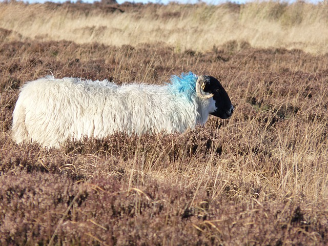 Sheep, Ewe, Heather, Moor, Mutton, Animal, Mammal, Farm