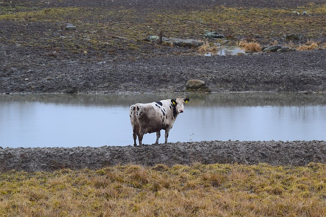 Cow, Water, Farm, Outdoors, Looking, Agriculture, Rural