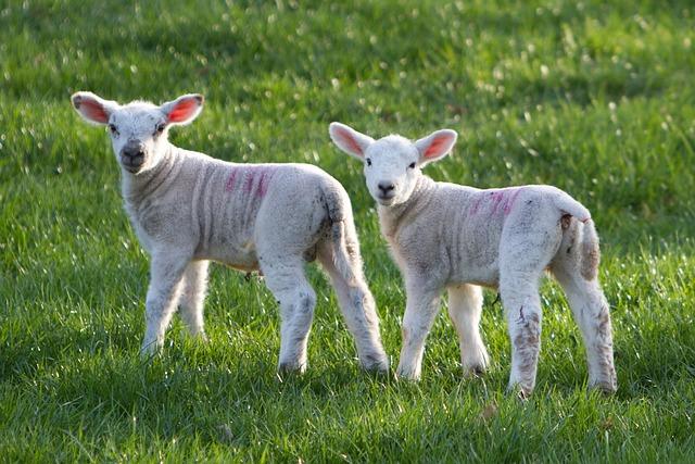 Sheep, Lamb, Animal, Farm, Rural, Countryside, Grass