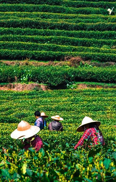 Farm, Tea, China, Plantation, Leaf, Asia, Nature