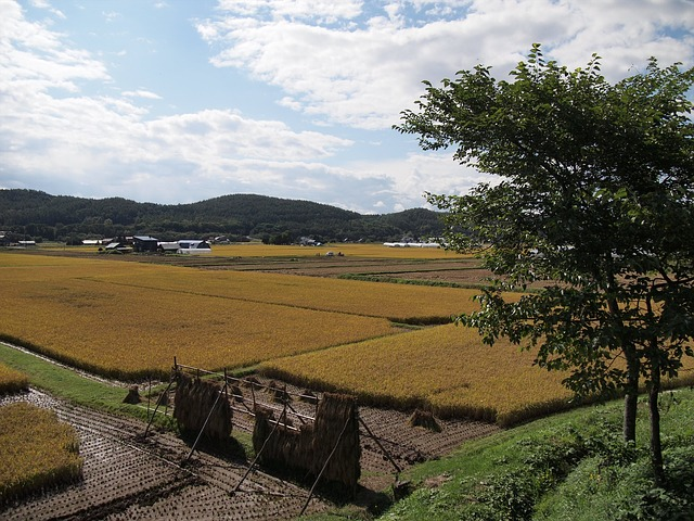 Yamada's Rice Fields, Ear Of Rice, Agriculture, Farmer