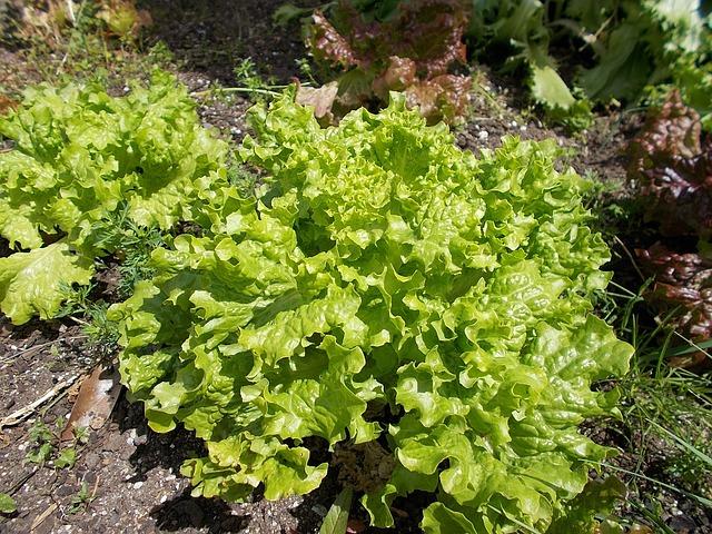 Lettuce, Green, Farming, Field, Plants, Crop