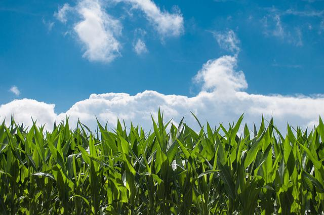 Corn Fields, Clouds, Sky, Plantation, Farm, Farming