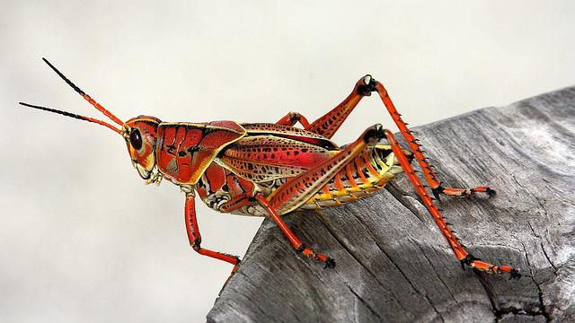 Grasshopper, Insect, Red, Animal, Fauna