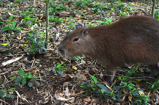 Animals, Animal, Zoo, Capybara, Fauna