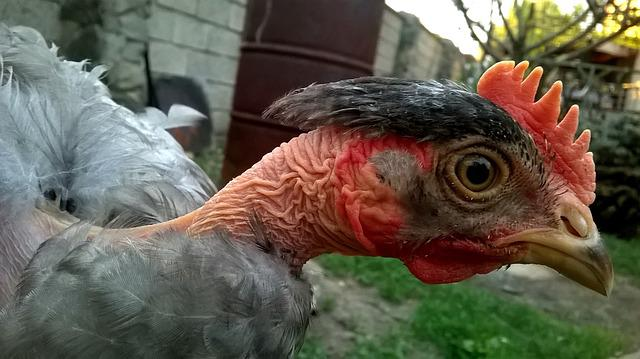 Chicken, Bald, Beauty, Fauna