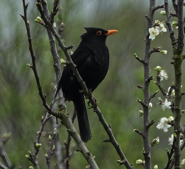 Bird, Merle, Fauna, Outdoor, Nature, Wind