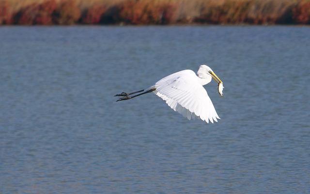 Animals, Fauna, Birds, Egret