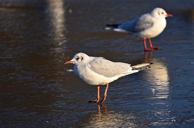 Seagull, Gull, Seabird, Laridae, Wildlife, Fauna