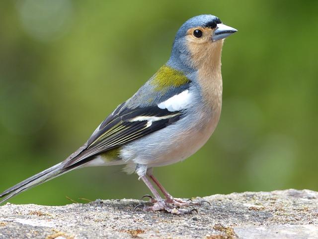 Bird, Madeira, Ile, Fauna, Nature, Sparrow, Grey