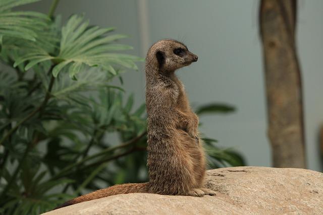 Meerkat, Fauna, Animals, Zoo, Animal Park, Pixie
