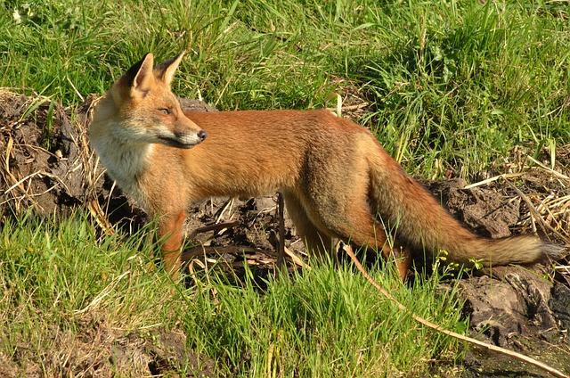 Fox, Predator, Mammal, Wild, Fauna, Alert, Naardermeer
