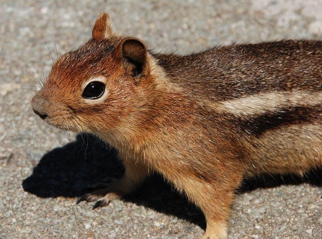 Squirrel, Fauna, Rodent, Mammal, Washington State