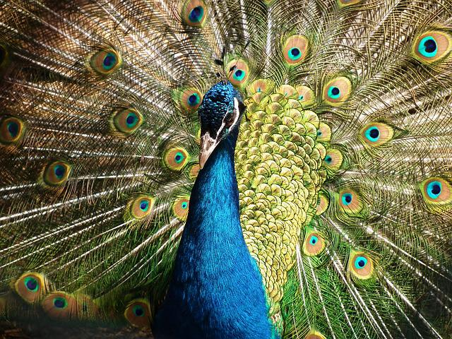 Peacock, Bird, Feather, Animal, Plumage, Bill, Colorful