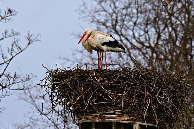 Stork, Wading Bird, Animal, Ciconia Ciconia, Feather