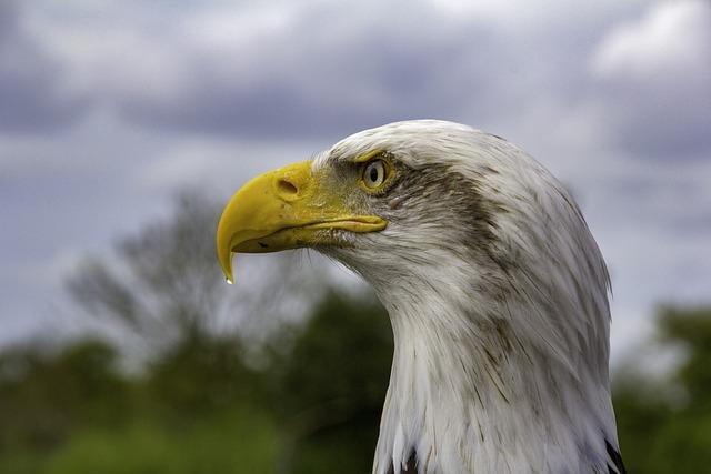 Bird, Feather, Beak, Bald Eagle, Nature