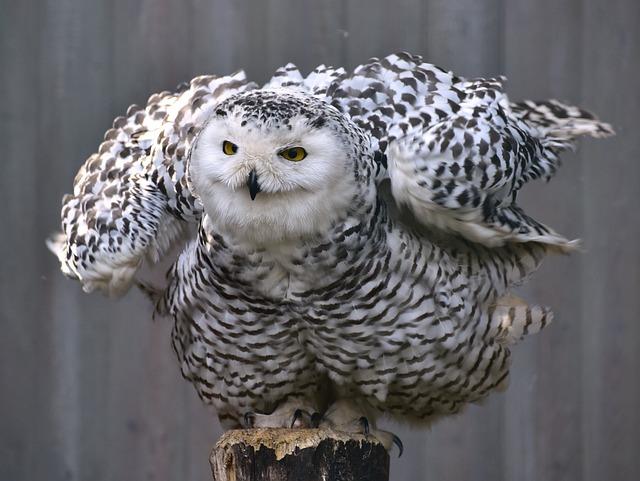 Owl, Snowy Owl, Bird, Animal, Feather, Plumage, Raptor