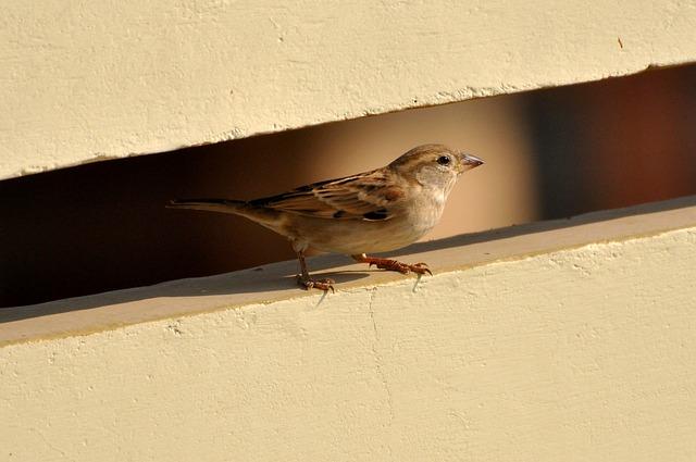 Sparrow, Bird, Birds, Nature, Brown, Feather, Beautiful