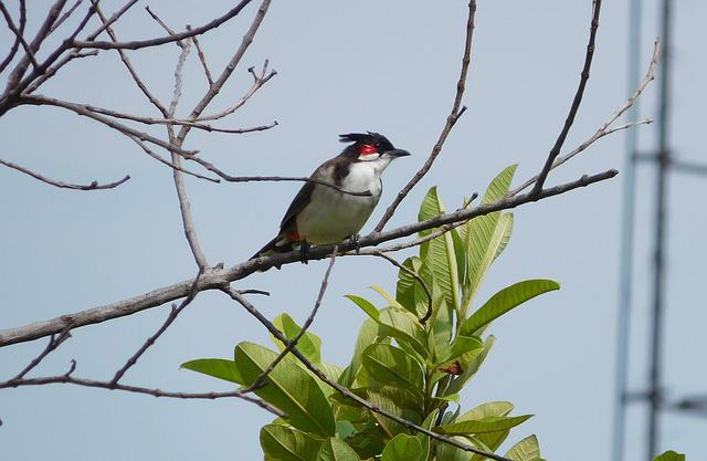 Nature, India, Bulbul, Red-whiskered, Bird, Feather
