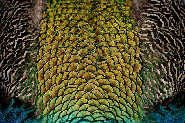Peacock, Bird, Feather, Color, Colorful, Iridescent