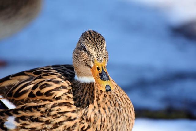 Duck, Drake, Water Bird, Mallard, Bird, Feather, Wing