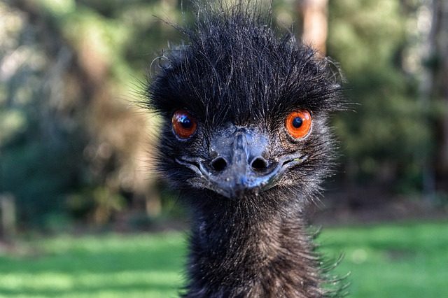 Emu, Australia, Bird, Nature, Animal, Fauna, Feather