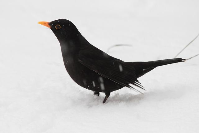 Bird, Animal World, Nature, Feather, Winter, Blackbird