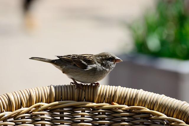 Sperling, Sparrow, Bird, Plumage, Nature, Feather