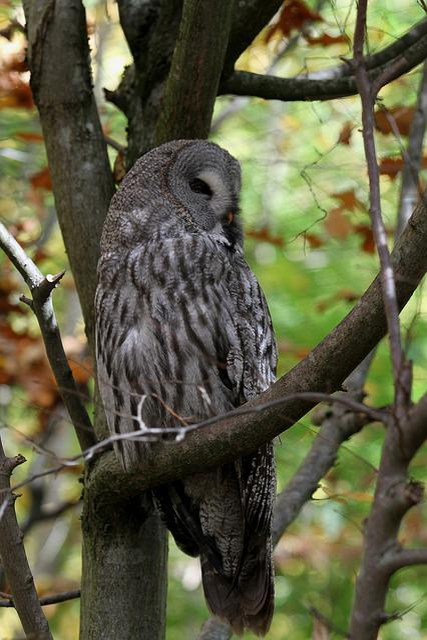 Owl, Kautz, Bird, Nocturnal, Feather, Bird Of Prey
