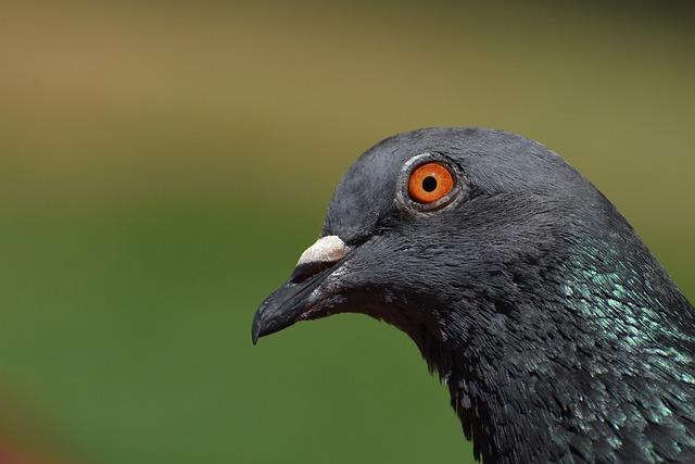 Pigeon, Portrait, Bird, Dove, Animal, Fauna, Feather