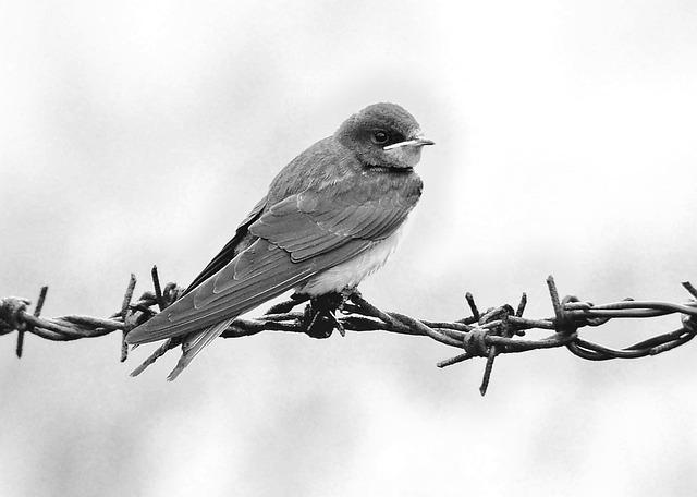 Schwalbe, Bird, Martin, Feather, Nature, Sit
