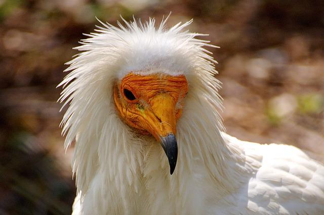 Vulture, Bird, Animal, Birds, Nature, Feather, Aas, Zoo
