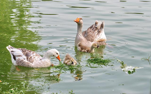 Birds, Goose, Chicken, Feather, Swimming, Water, Lake