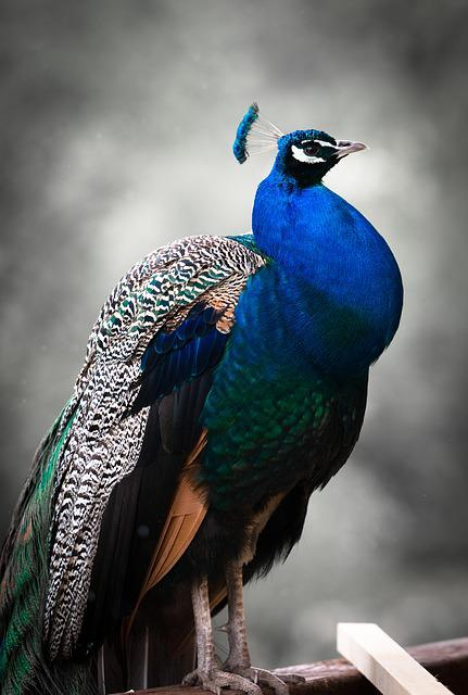 Peacock, Bird, Colorful, Blue, Animal, Feather, Zoo