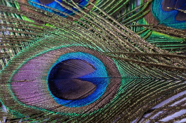 Peacock, Feather, Eye, Peacock Feather, Plumage