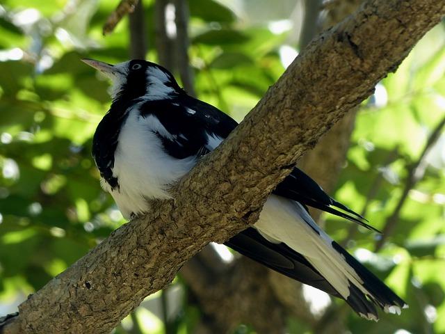 Magpie Lark, Mud Lark, Bird, Fly, Wings, Feather